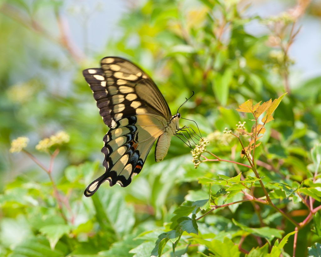 Swallowtail from the Chocolate Trail